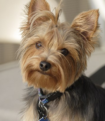 Photo:yorkiegrooming.net